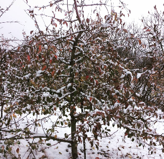An apple tree covered in a layer of snow.