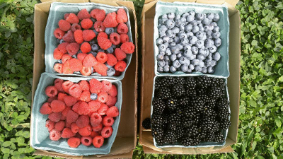 Fresh picked blueberries, raspberries, and blackberries in quart containers.