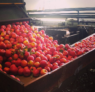 Red apples in a grader for sorting.